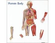 Der menschliche Körper, magnetisches Demomaterial