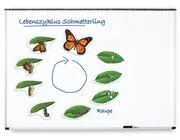Lebenszyklus Schmetterling, magnetisches Demomaterial, 8-12 Jahre