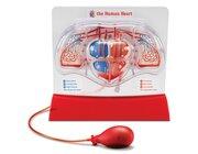 Herz-Kreislauf-Modell, ab 10 Jahre