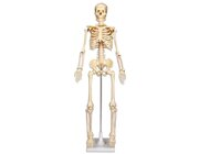 Kleines Skelett auf Stativ, ohne Sockel 80 cm hoch, 6-16 Jahre