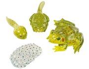 Lebenszyklus Frosch, 4 Kunststoff-Figuren, 4-12 Jahre