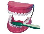 Zahnputz-Modell aus Kunststoff mit Bürste, ab 3 Jahre