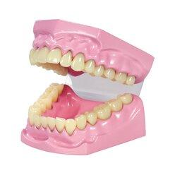Zahnputz-Modell aus Kunststoff (klein), 3-18 Jahre