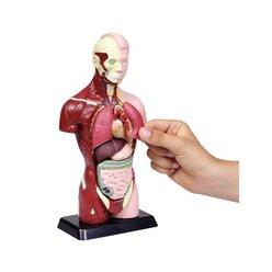 Schülertorso, 27 cm Höhe, anatomisches Modell, ab 6 Jahre